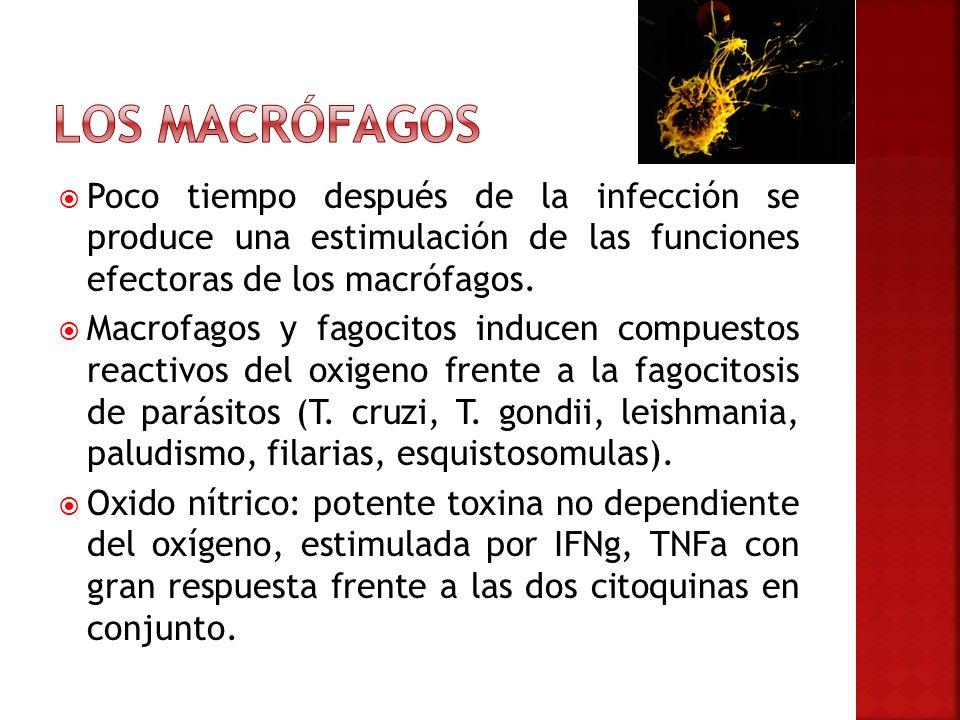 Los macrófagos Poco tiempo después de la infección se produce una estimulación de las funciones efectoras de los macrófagos.