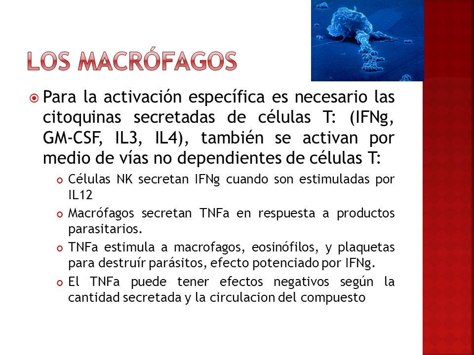 Los macrófagos