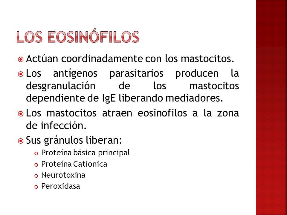 Los eosinófilos Actúan coordinadamente con los mastocitos.