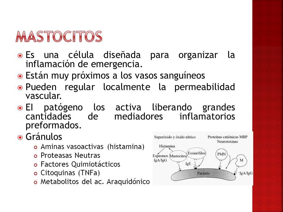 Mastocitos Es una célula diseñada para organizar la inflamación de emergencia. Están muy próximos a los vasos sanguíneos.