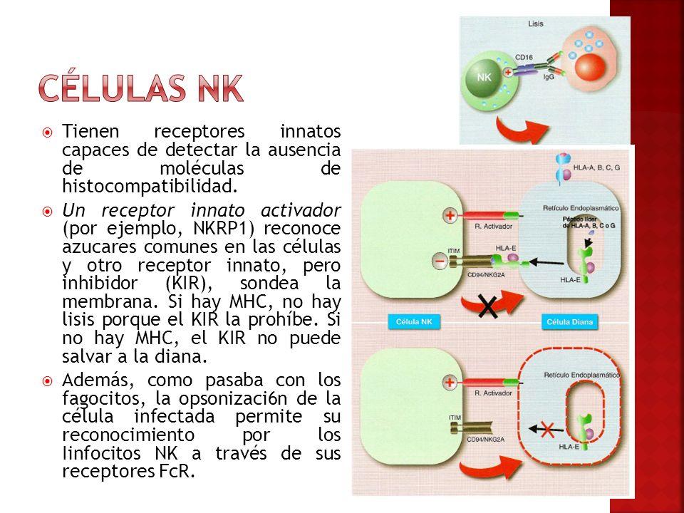 Células NK Tienen receptores innatos capaces de detectar la ausencia de moléculas de histocompatibilidad.