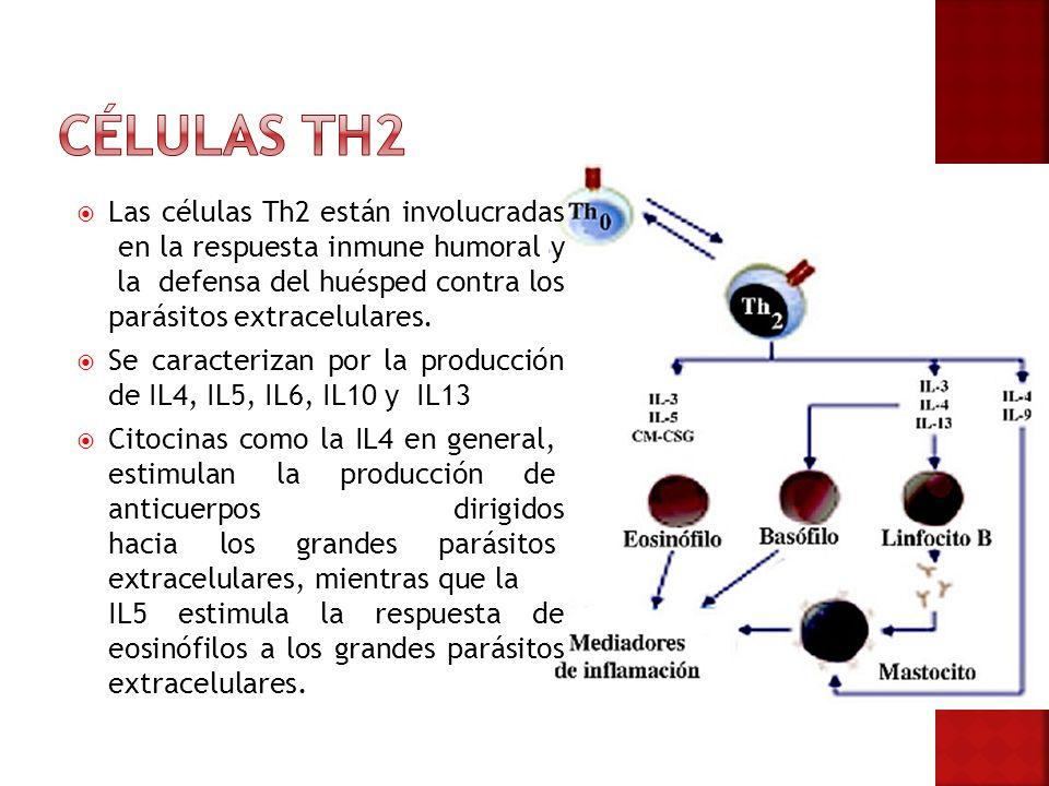 Células TH2 Las células Th2 están involucradas en la respuesta inmune humoral y la defensa del huésped contra los parásitos extracelulares.