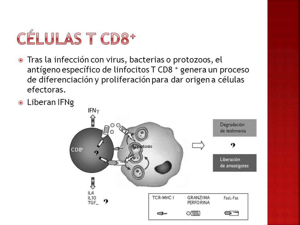 Células t cd8+