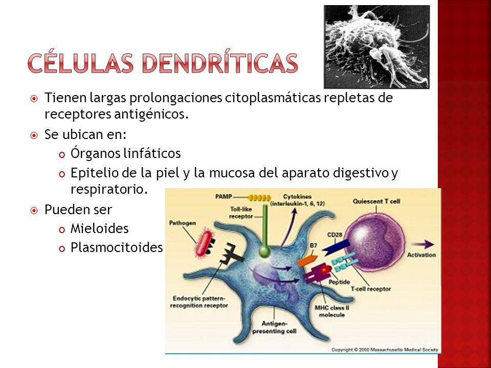 Células dendríticas Tienen largas prolongaciones citoplasmáticas repletas de receptores antigénicos.