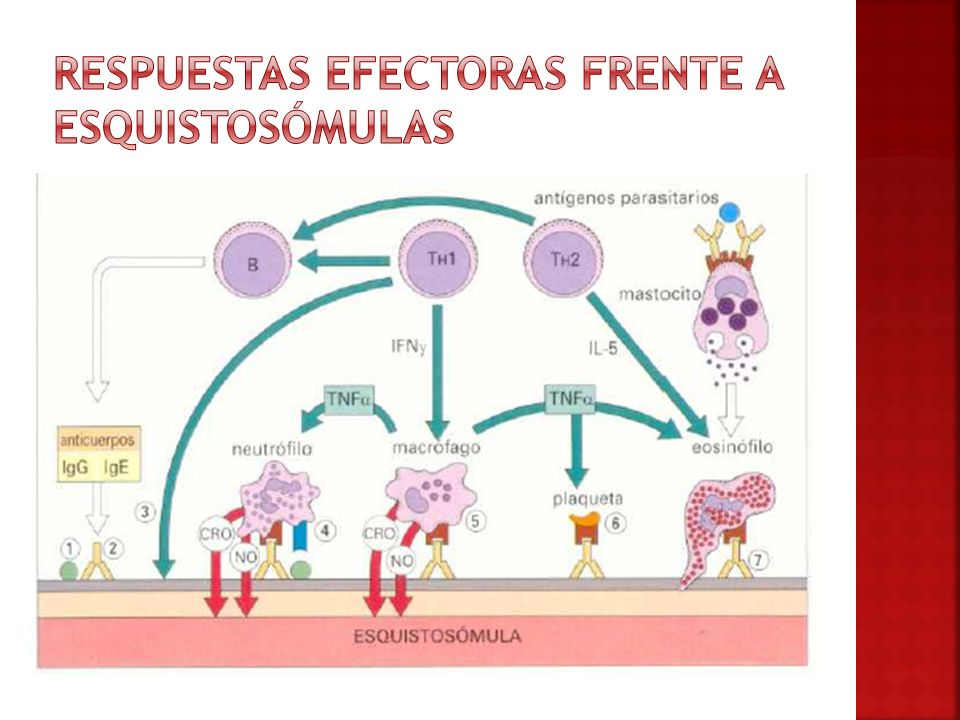 Respuestas efectoras frente a esquistosómulas