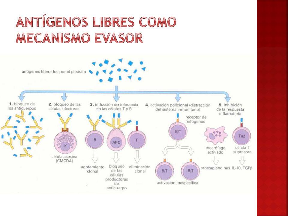 Antígenos libres como mecanismo evasor