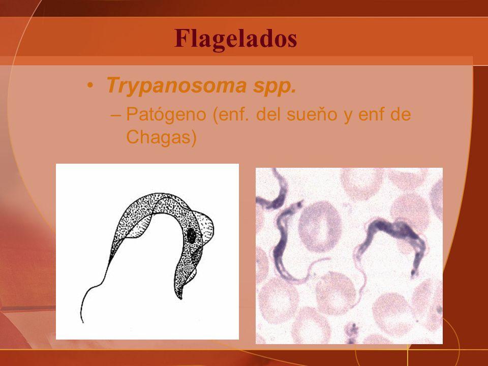 Flagelados Trypanosoma spp. Patógeno (enf. del sueňo y enf de Chagas)