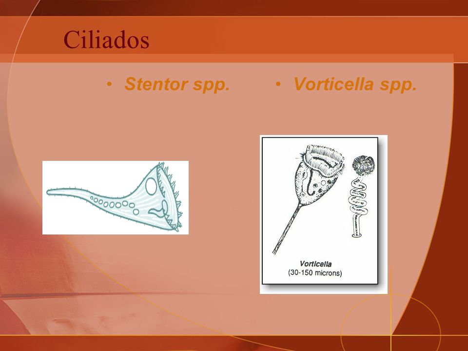 Ciliados Stentor spp. Vorticella spp.