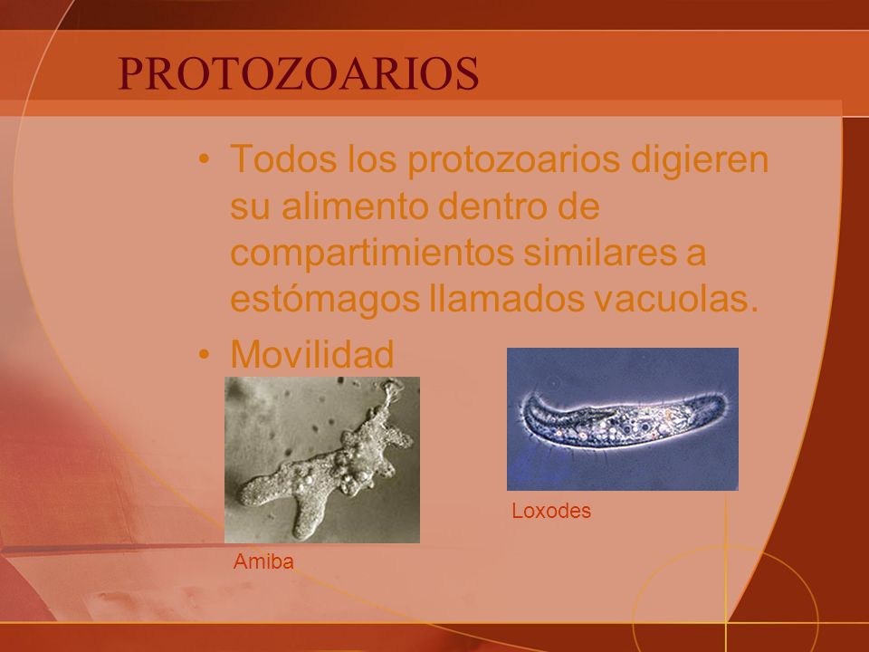 PROTOZOARIOS Todos los protozoarios digieren su alimento dentro de compartimientos similares a estómagos llamados vacuolas.