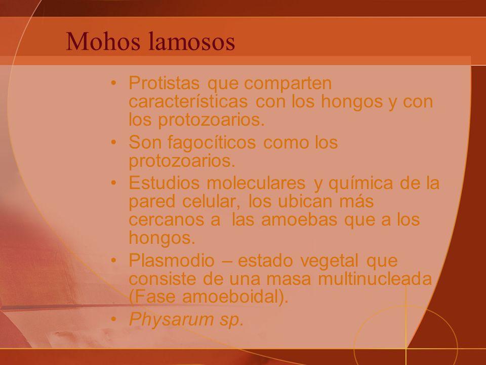 Mohos lamosos Protistas que comparten características con los hongos y con los protozoarios. Son fagocíticos como los protozoarios.