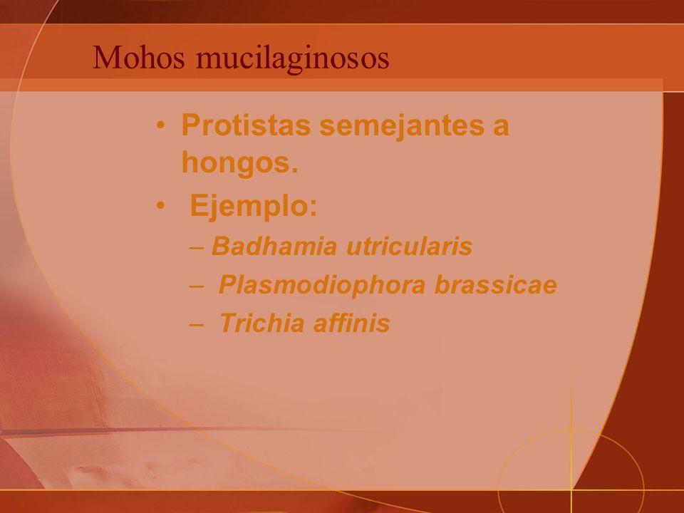 Mohos mucilaginosos Protistas semejantes a hongos. Ejemplo: