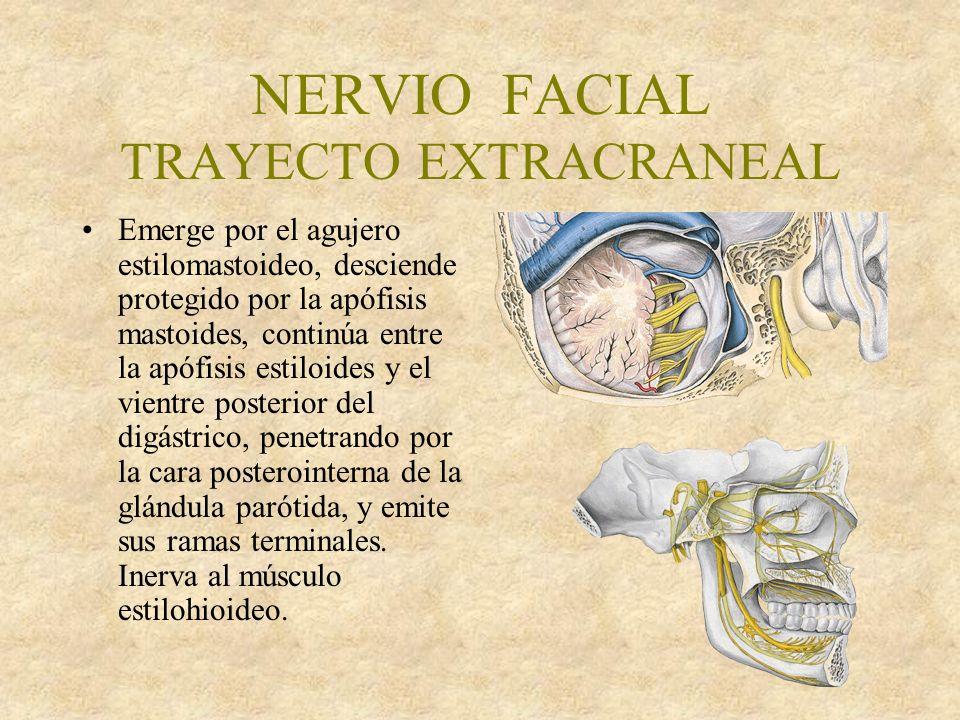 NERVIO FACIAL TRAYECTO EXTRACRANEAL