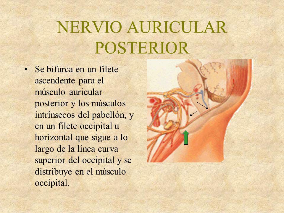NERVIO AURICULAR POSTERIOR