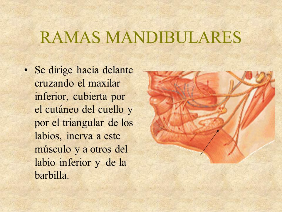 RAMAS MANDIBULARES