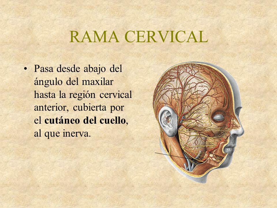 RAMA CERVICAL Pasa desde abajo del ángulo del maxilar hasta la región cervical anterior, cubierta por el cutáneo del cuello, al que inerva.