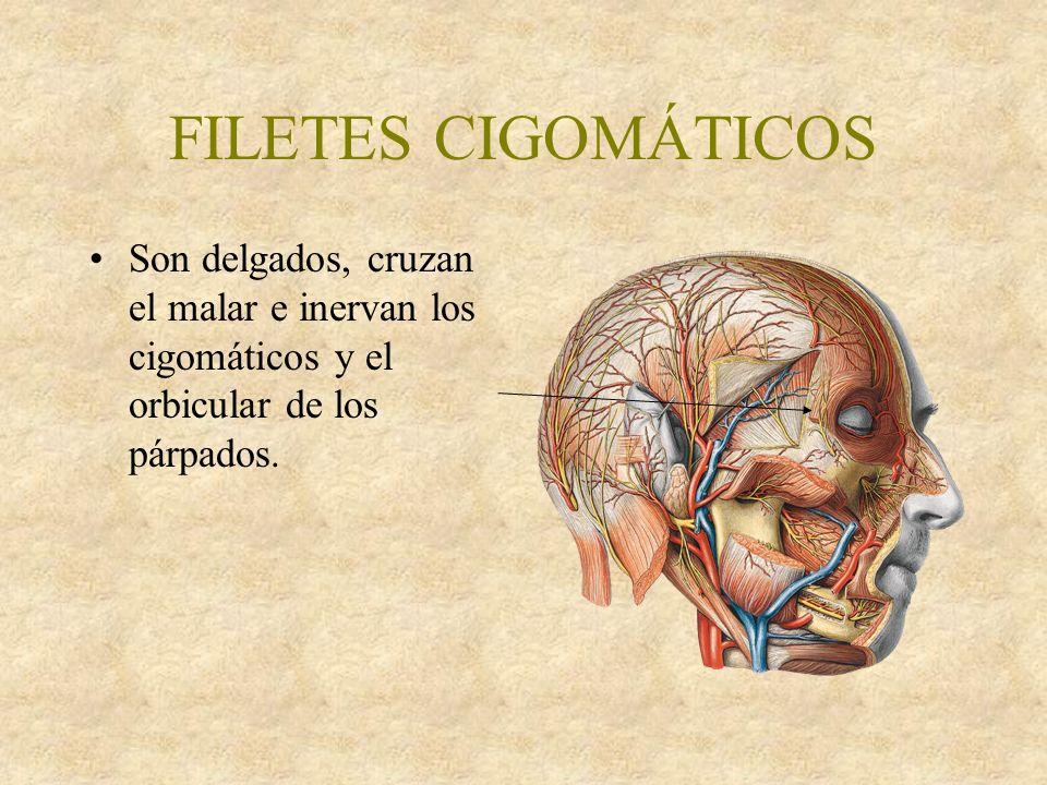 FILETES CIGOMÁTICOS Son delgados, cruzan el malar e inervan los cigomáticos y el orbicular de los párpados.