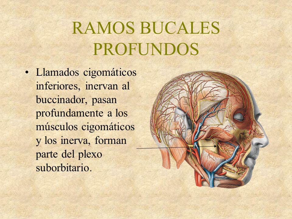 RAMOS BUCALES PROFUNDOS