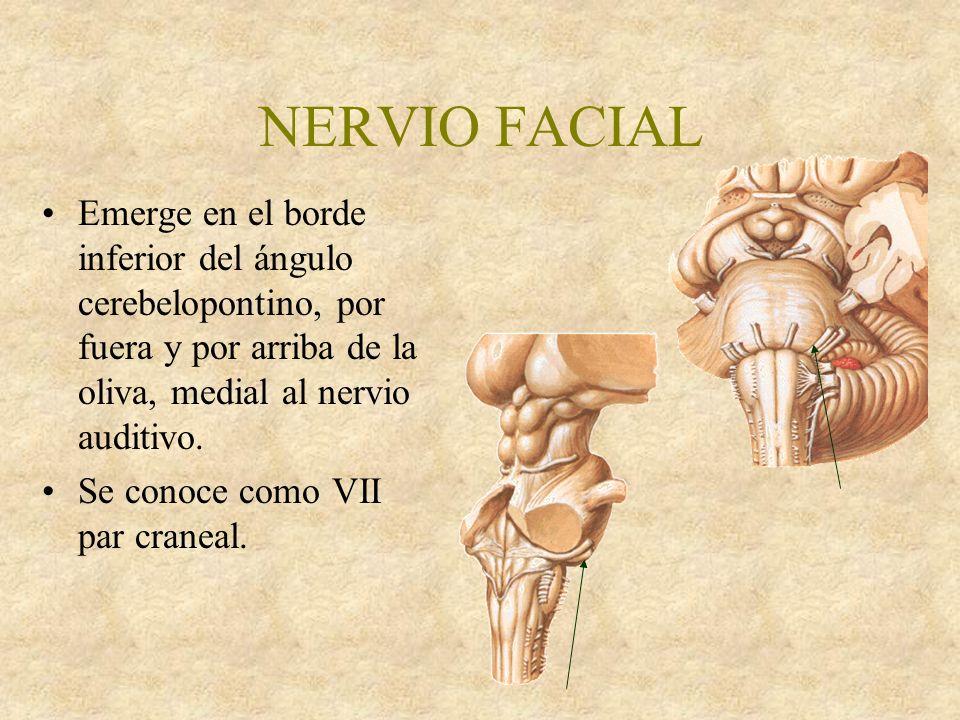 NERVIO FACIAL Emerge en el borde inferior del ángulo cerebelopontino, por fuera y por arriba de la oliva, medial al nervio auditivo.