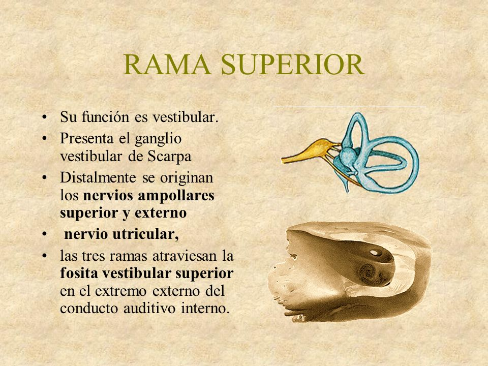 RAMA SUPERIOR Su función es vestibular.