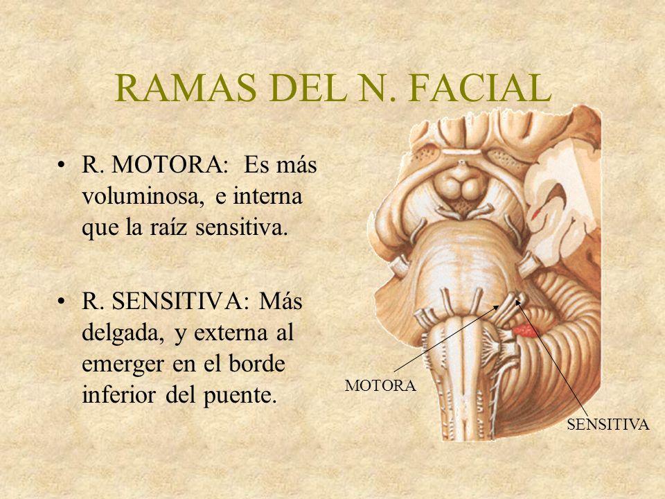 RAMAS DEL N. FACIAL MOTORA. SENSITIVA. R. MOTORA: Es más voluminosa, e interna que la raíz sensitiva.