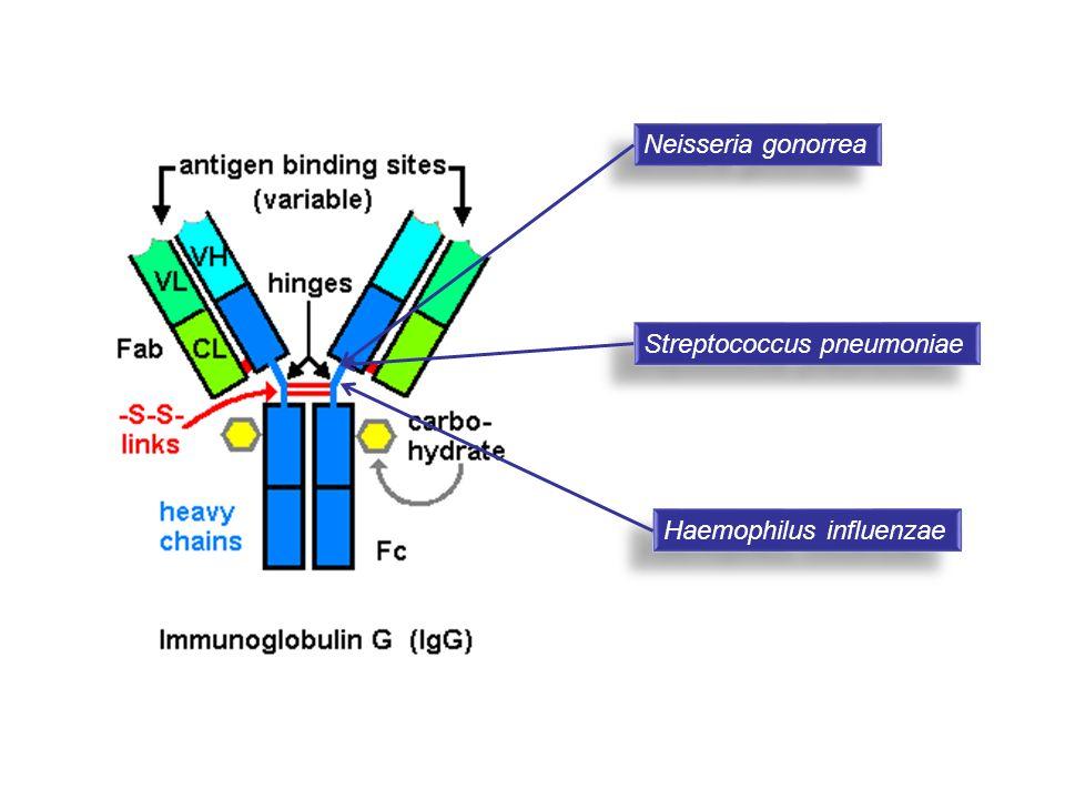 Neisseria gonorrea Streptococcus pneumoniae Haemophilus influenzae