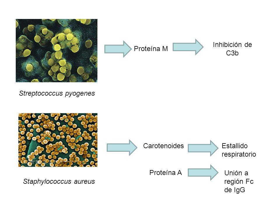 Inhibición de C3b Proteína M. Streptococcus pyogenes. Carotenoides. Estallido respiratorio. Proteína A.