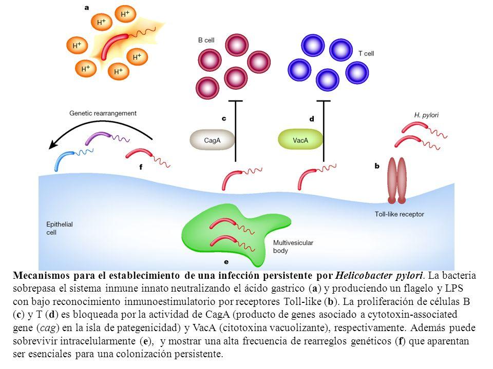 Mecanismos para el establecimiento de una infección persistente por Helicobacter pylori.