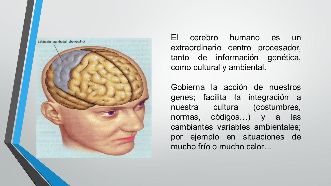 El cerebro humano es un extraordinario centro procesador, tanto de información genética, como cultural y ambiental.