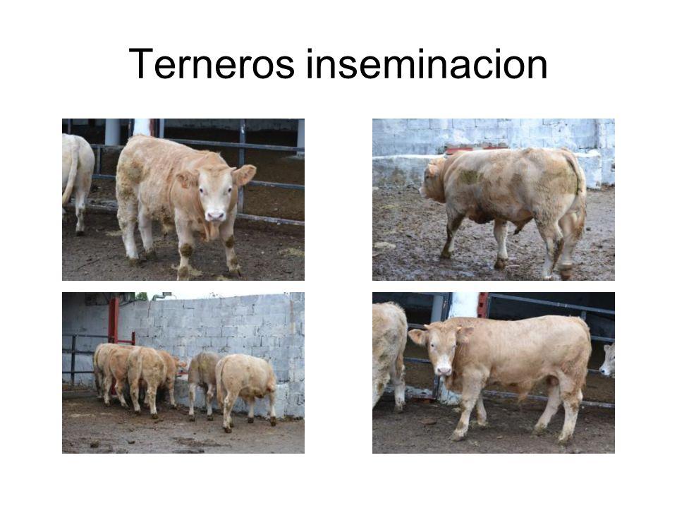 Terneros inseminacion