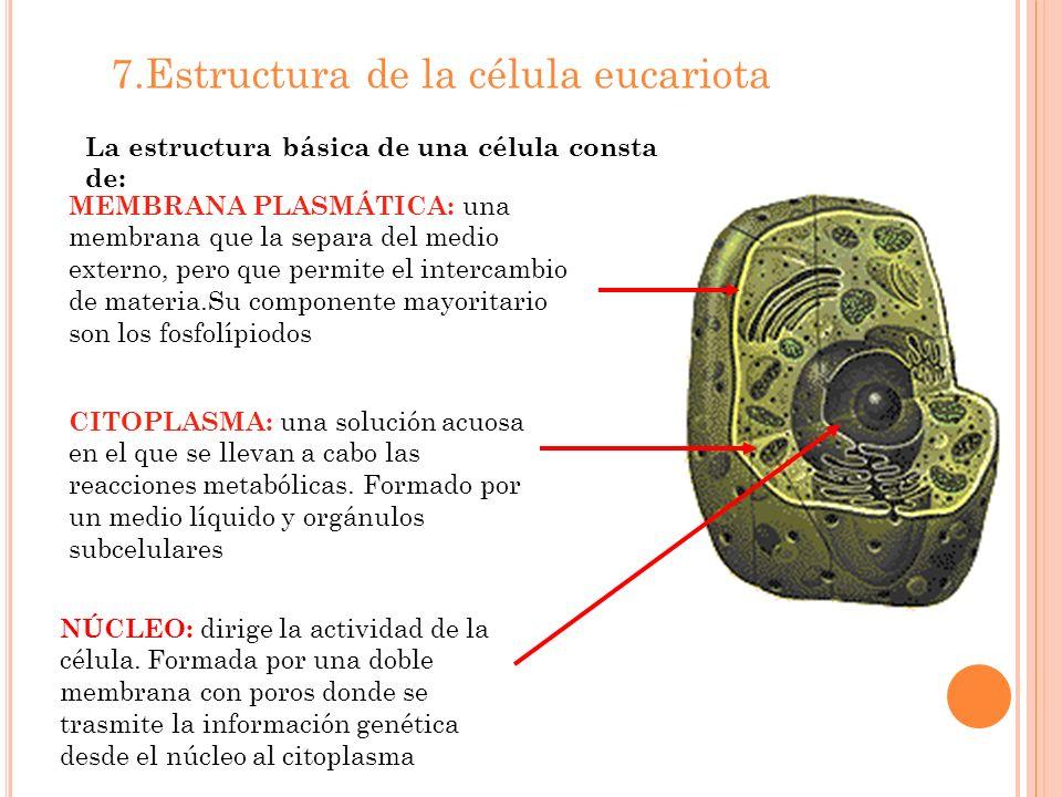 7.Estructura de la célula eucariota