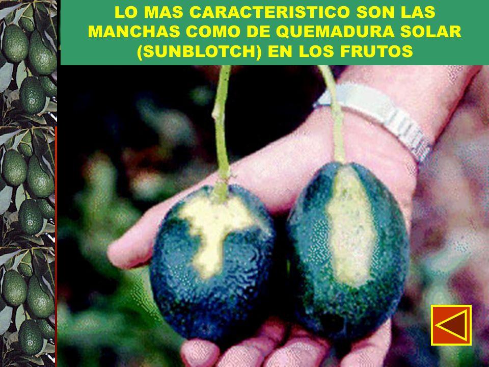LO MAS CARACTERISTICO SON LAS MANCHAS COMO DE QUEMADURA SOLAR (SUNBLOTCH) EN LOS FRUTOS