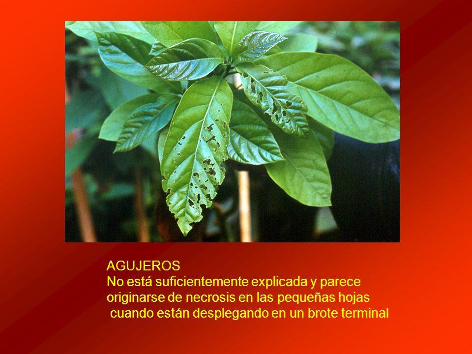 AGUJEROS No está suficientemente explicada y parece. originarse de necrosis en las pequeñas hojas.