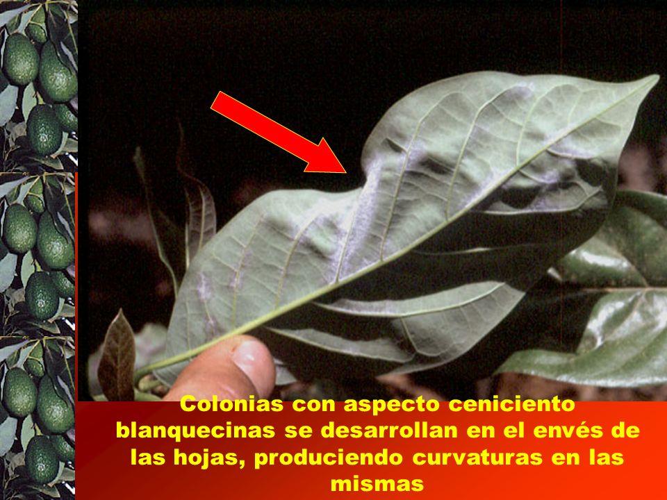 Colonias con aspecto ceniciento blanquecinas se desarrollan en el envés de las hojas, produciendo curvaturas en las mismas