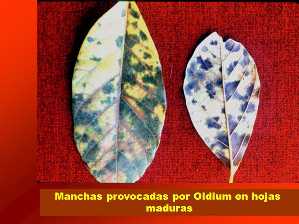 Manchas provocadas por Oidium en hojas