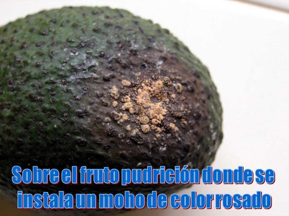 Sobre el fruto pudrición donde se instala un moho de color rosado