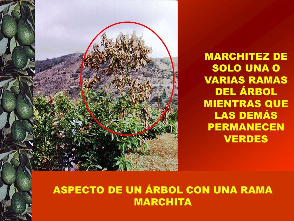 ASPECTO DE UN ÁRBOL CON UNA RAMA MARCHITA