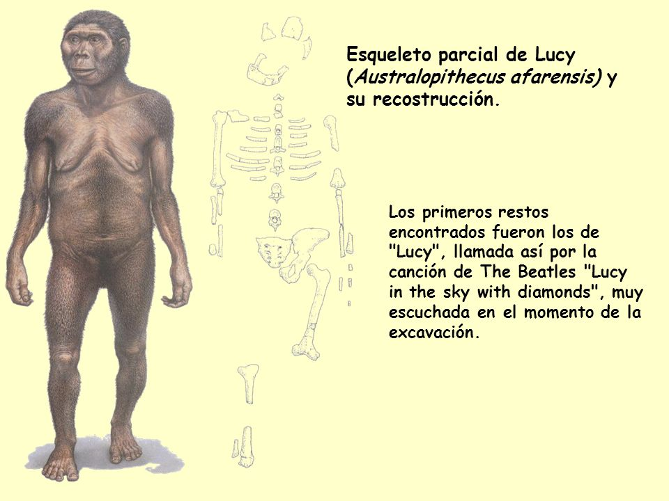 Esqueleto parcial de Lucy (Australopithecus afarensis) y su recostrucción.