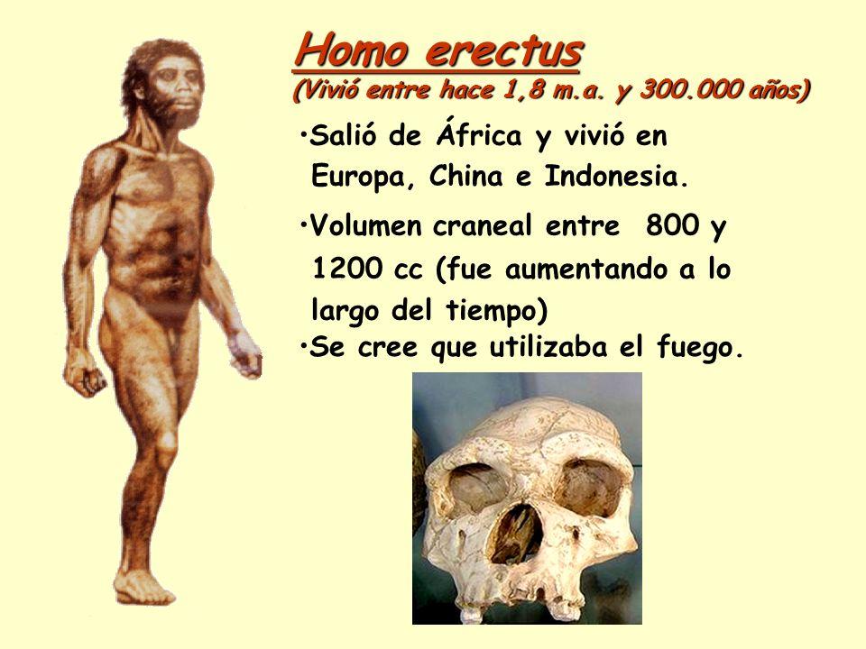 Homo erectus Salió de África y vivió en Europa, China e Indonesia.