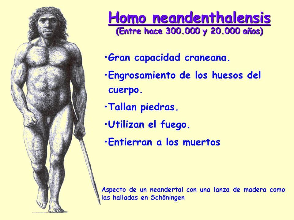 Homo neandenthalensis (Entre hace 300.000 y 20.000 años)