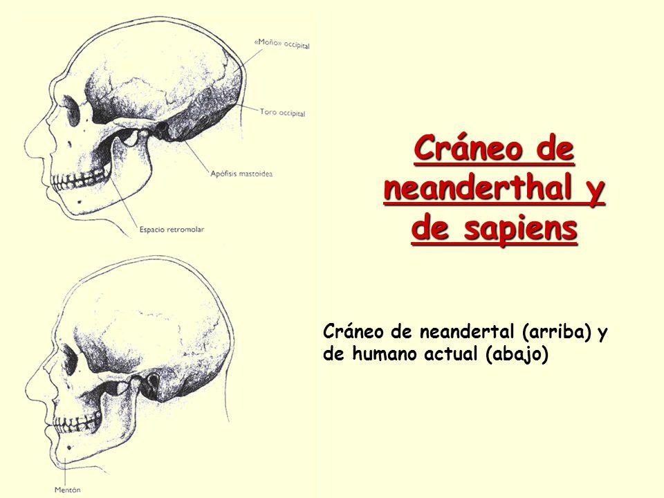 Cráneo de neanderthal y de sapiens