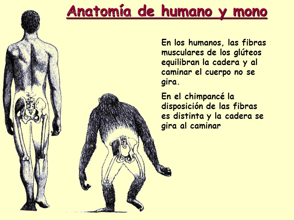 Anatomía de humano y mono