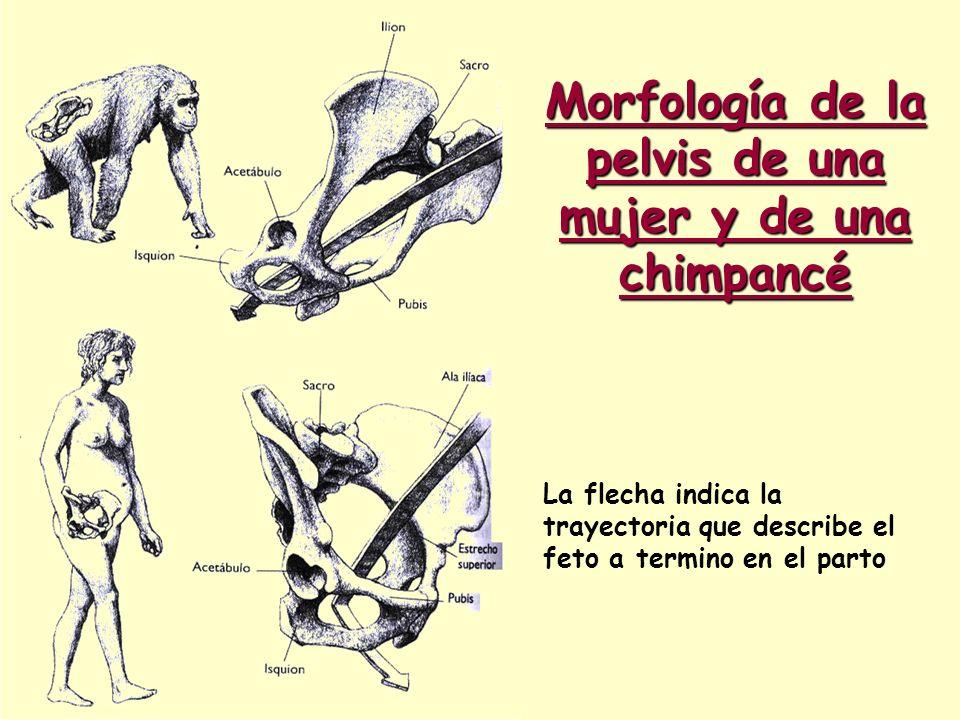 Morfología de la pelvis de una mujer y de una chimpancé