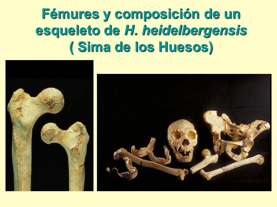 Fémures y composición de un esqueleto de H