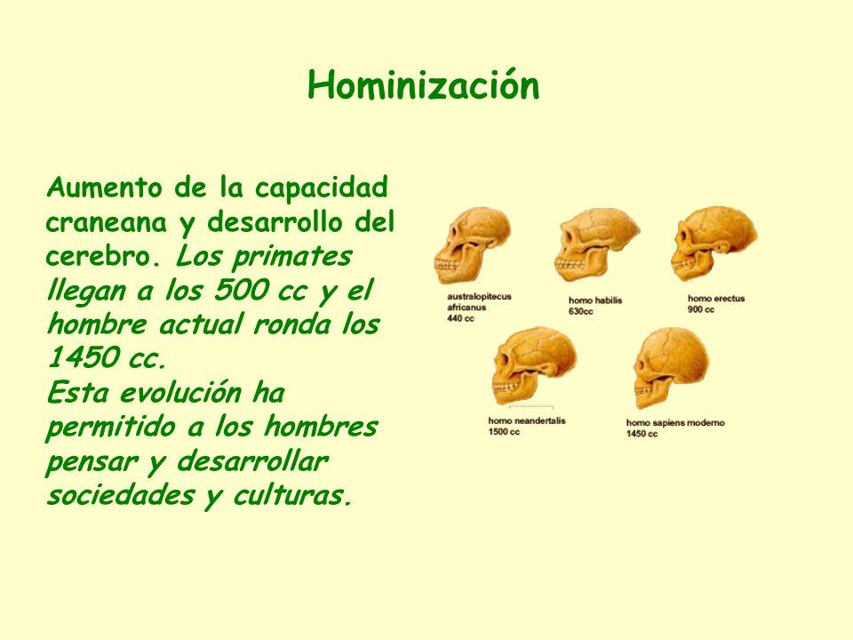 Hominización Aumento de la capacidad craneana y desarrollo del cerebro. Los primates llegan a los 500 cc y el hombre actual ronda los 1450 cc.