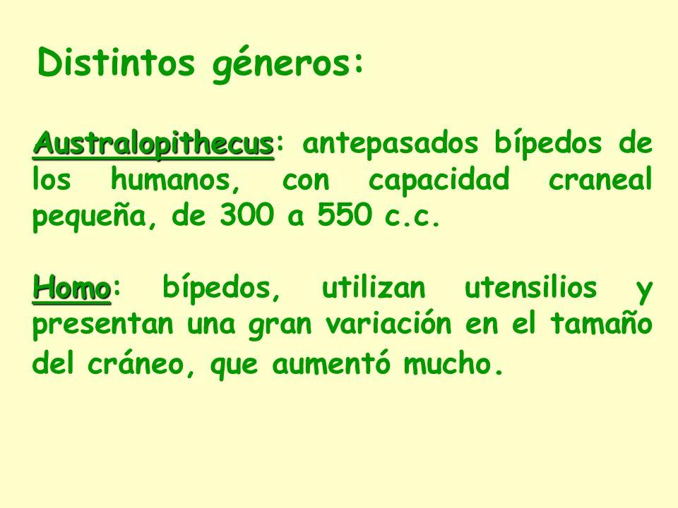 Distintos géneros: Australopithecus: antepasados bípedos de los humanos, con capacidad craneal pequeña, de 300 a 550 c.c.