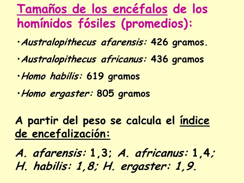 Tamaños de los encéfalos de los homínidos fósiles (promedios):