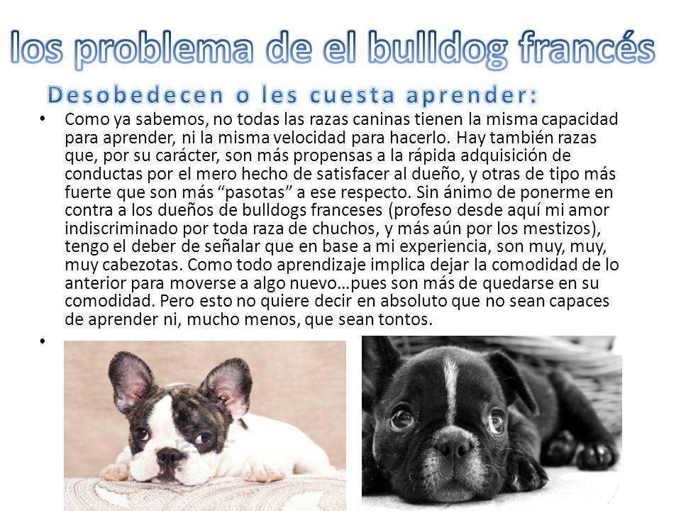 los problema de el bulldog francés Desobedecen o les cuesta aprender: