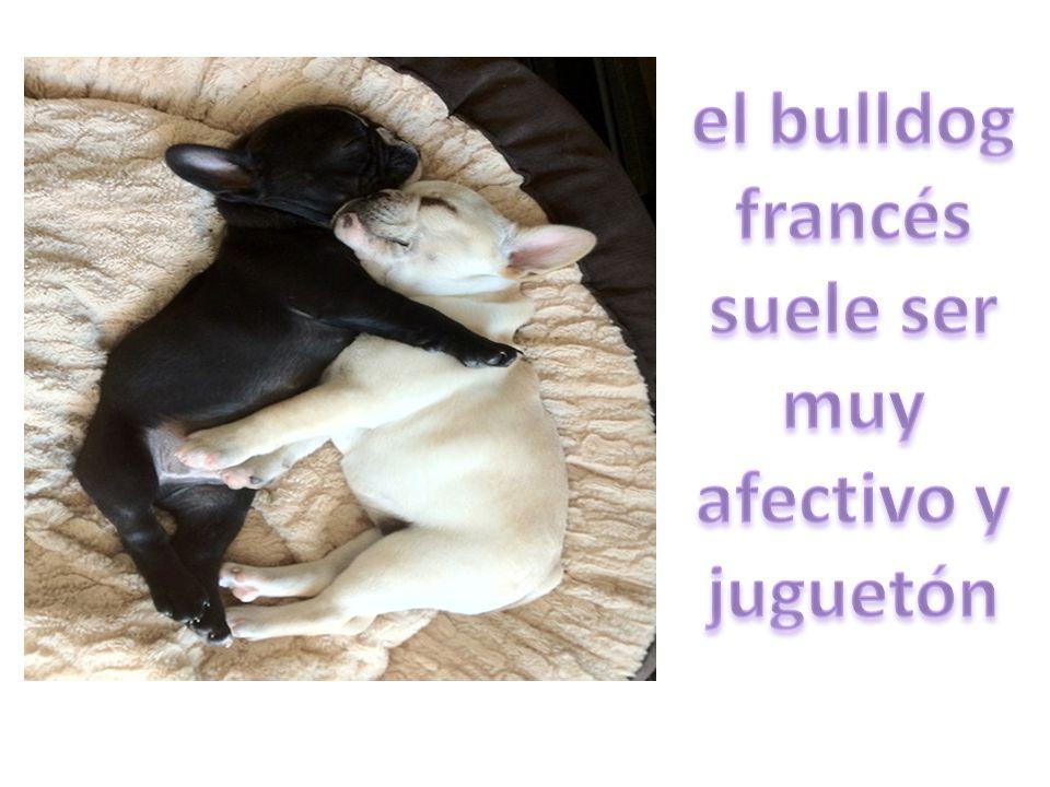 el bulldog francés suele ser muy afectivo y juguetón