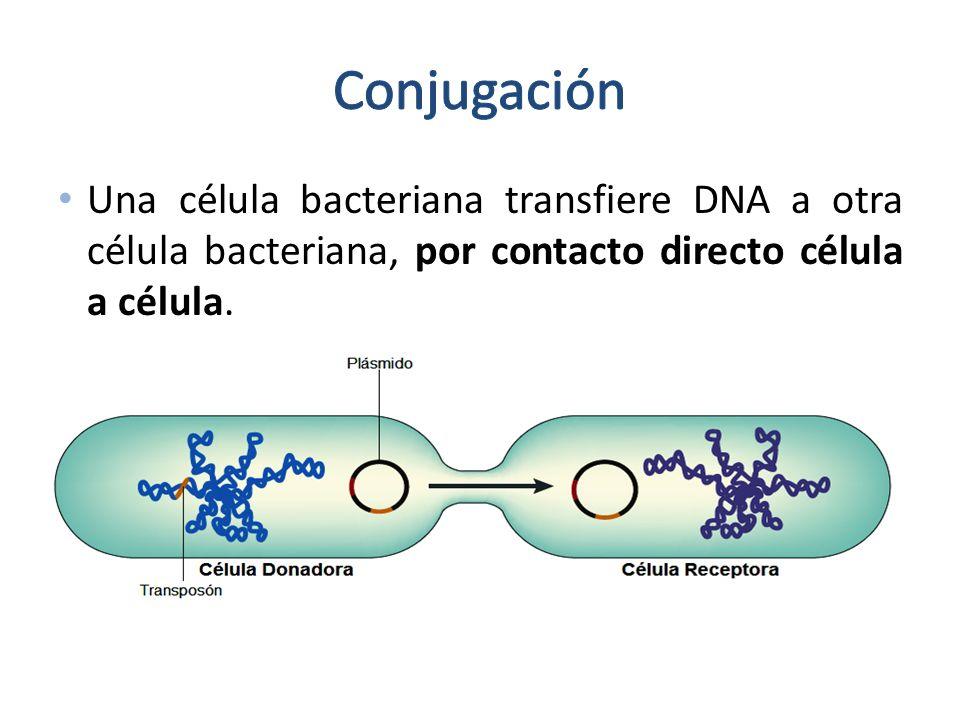 Conjugación Una célula bacteriana transfiere DNA a otra célula bacteriana, por contacto directo célula a célula.