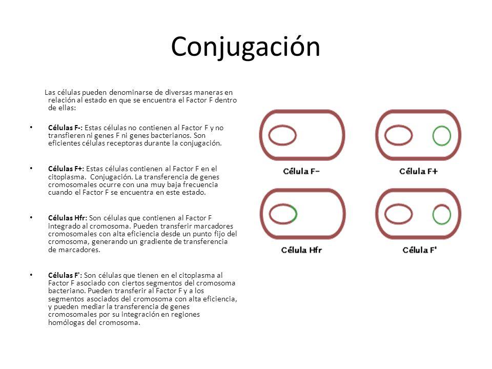 Conjugación Las células pueden denominarse de diversas maneras en relación al estado en que se encuentra el Factor F dentro de ellas: